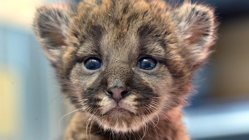 Illustration for article titled Rescued Florida Panther Kitten Is Your New Best Friend