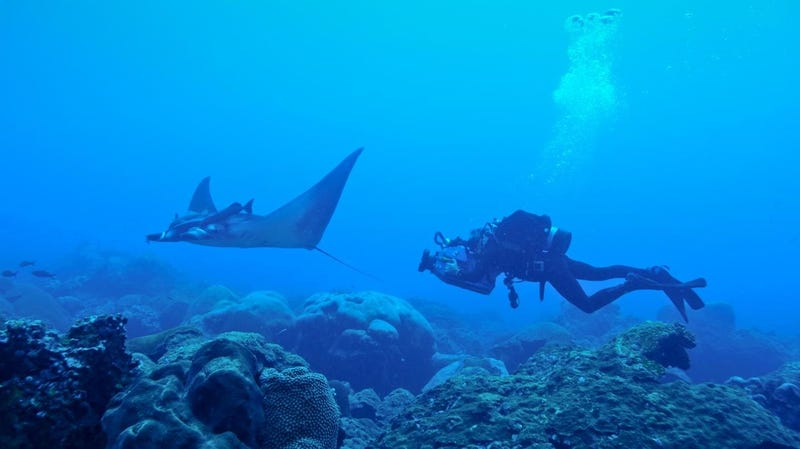 Illustration for article titled First Manta Ray Nursery Ever Discovered Shows Marine Protected Areas Matter