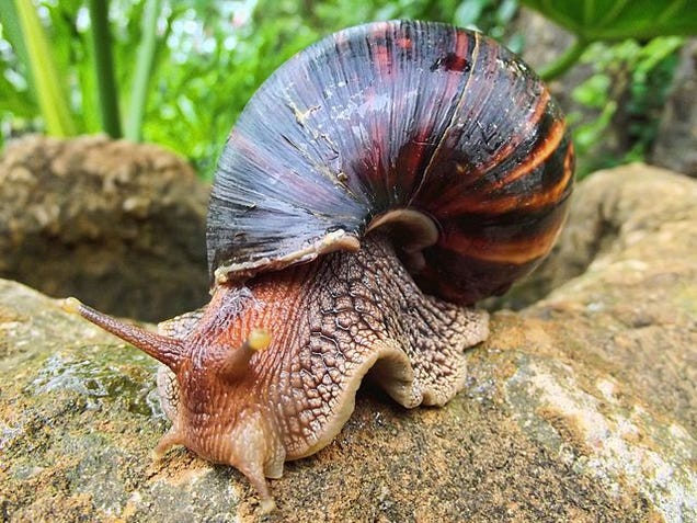 Here's How You Can Get Meningitis From A Snail