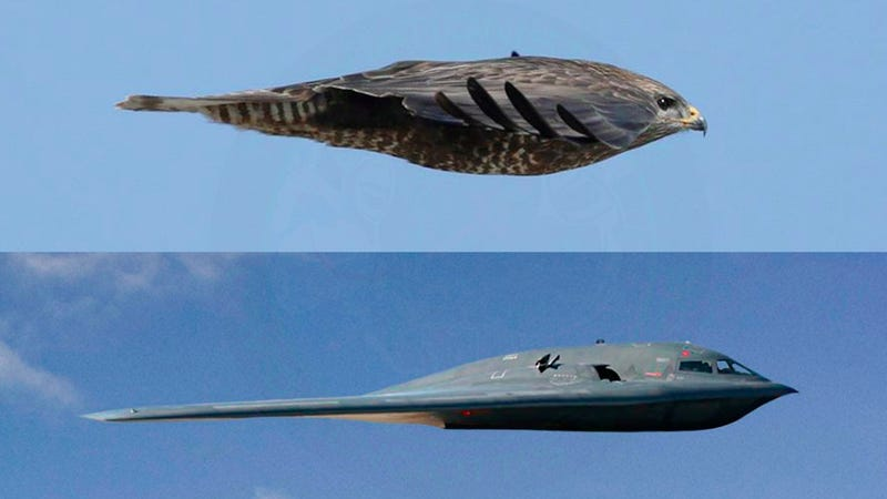 Illustration for article titled This Is Nature's B-2 Bomber