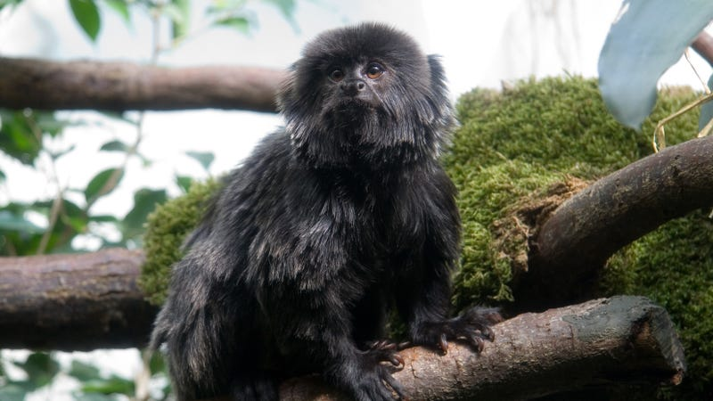 An unidentified Goeldi's monkey which resembles Kali.
