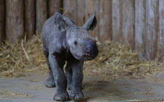 Illustration for article titled Our First Glimpse Of Chester Zoo's New Baby Black Rhino!