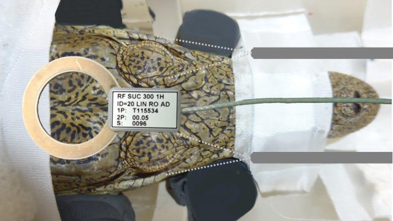 A crocodile prepares to enter the MRI scanner.