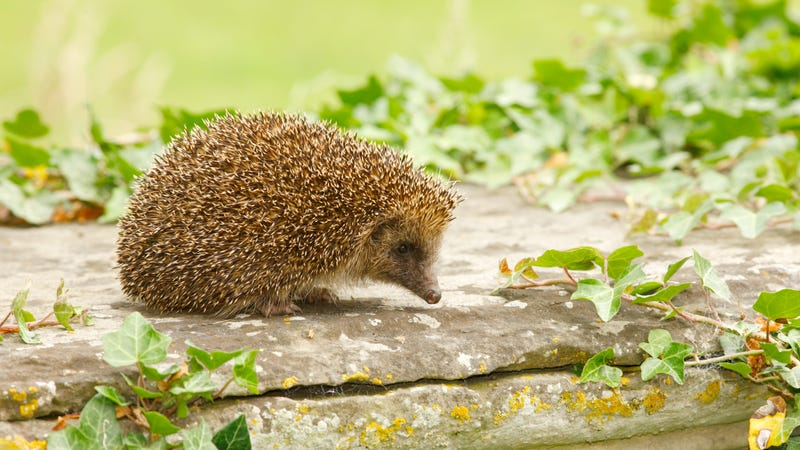 Illustration for article titled MP Proposes: Make the Hedgehog the National Symbol of the United Kingdom