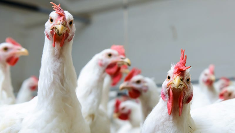 study finds chickens would have no qualms about caging eating humans