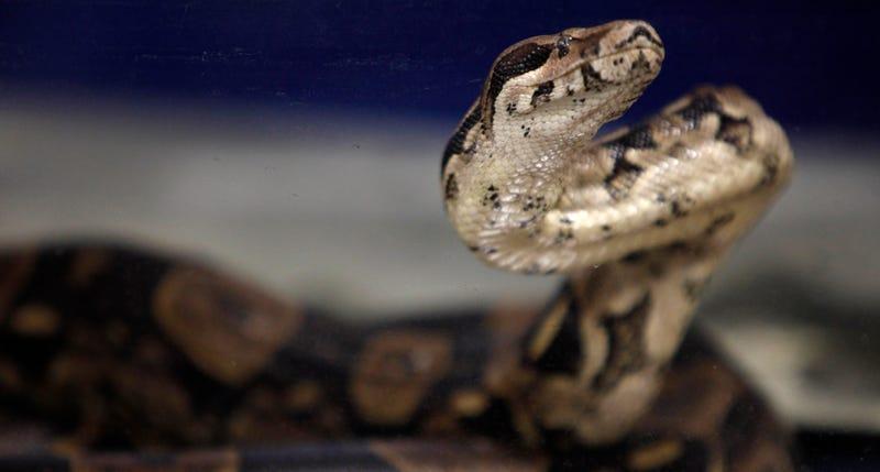 Boa constrictor. AP