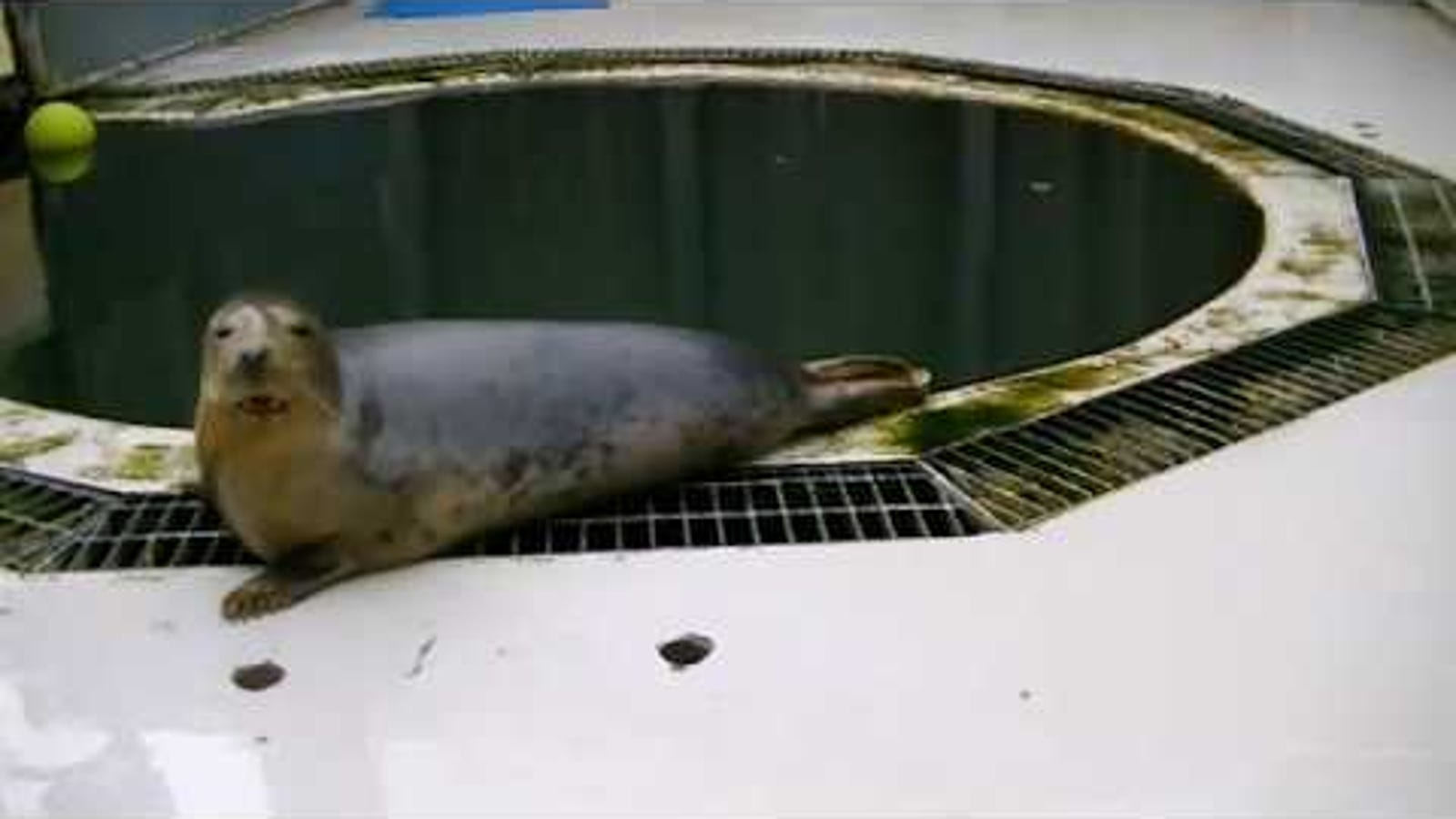 Why Scientists Trained a Seal to Sing the Star Wars Theme - Gizmodo thumbnail