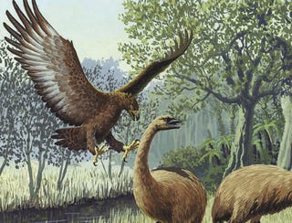 Illustration for article titled 500 Years Ago, A Giant Eagle In New Zealand Was Possibly Eating Children