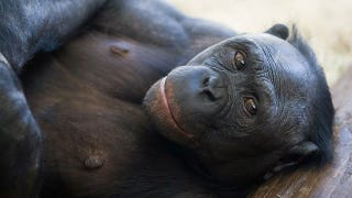 Illustration for article titled Female bonobos have gay sex to improve their social status