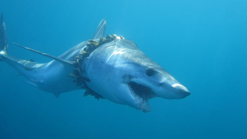 An adult shortfin mako shark entangled in fishing rope (biofouled with barnacles) in the Pacific Ocean, causing scoliosis of the back.