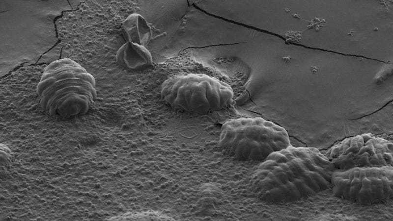 """A scanning electron micrograph image of six tardigrades in their dehydrated  state. When tardigrades dry out they retract their legs and heads within their cuticle forming a ball like shape known as a """"tun."""" (Image: T. C. Boothby)"""