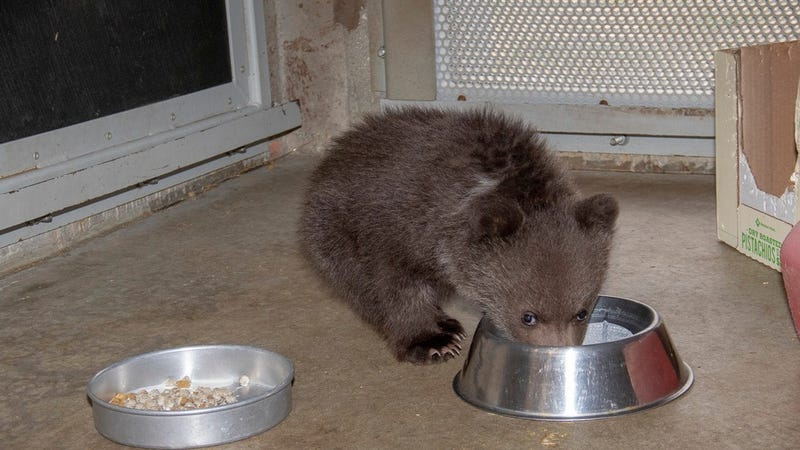 Baby bear orphan :(