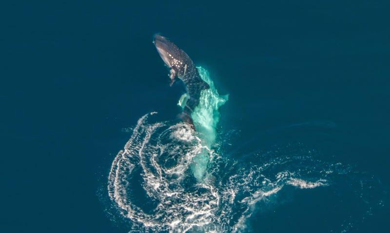 Illustration for article titled Capturan por primera vez el intento de apareamiento de un tiburón ballena (aunque no sale como el animal esperaba)