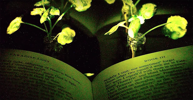 Usan plantas luminosas para sustituir lámparas eléctricas