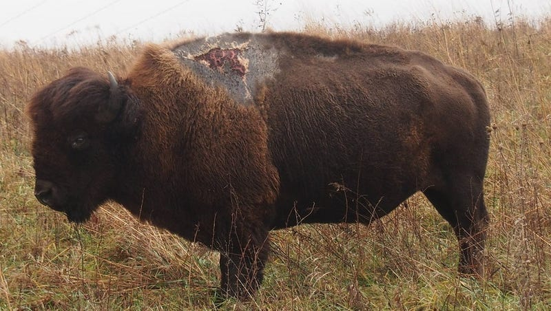 Illustration for article titled This Bison Was Struck by Lightning and Emerged Ugly But Alive