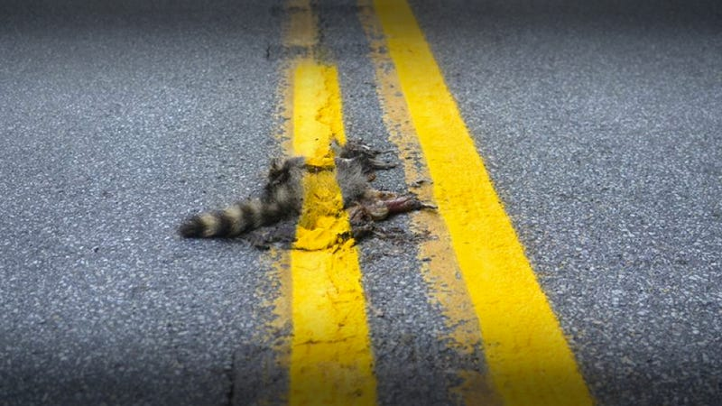 Illustration for article titled A Road Crew Painted A Stripe Over This Dead Raccoon