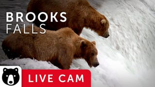 BearCam Is Back and It's Beary, Beary Nice