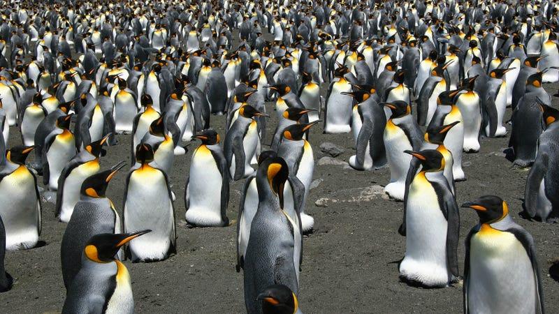 King penguins on Possession Island, Crozet Archipelago.