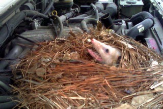 Illustration for article titled Adventures With Wildlife: Surprise Underhood Opossum Nest