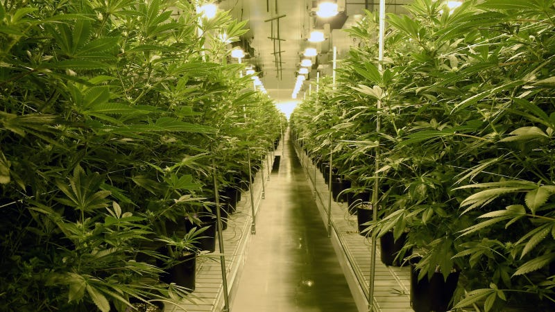 Marijuana plants are grown at Essence Vegas' 54,000-square-foot marijuana cultivation facility on July 6, 2017 in Las Vegas, Nevada. Image via Getty.