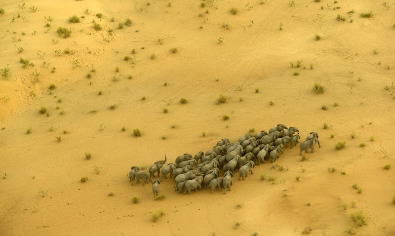 A herd of elephants in the desert near Lake Chad; there are less than 800 elephants remaining in the country. Kate Brooks for The Last Animals.