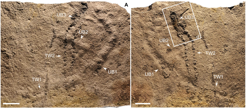 The fossilized trackways  made by an unknown, ancient sea creature.