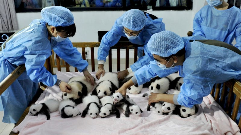 Illustration for article titled Brace Yourself for a Panda Cub Palooza