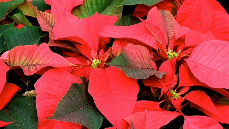 Keep Your Holiday Wreaths, Poinsettas, and Trees Alive Longer With These Helpful Tips