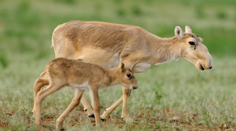 Illustration for article titled The Mass Die-off of Saiga This Spring Was Much Worse Than We Thought