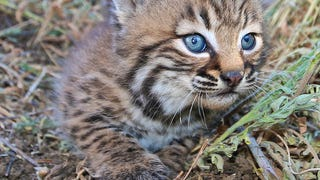 Did Ancient Native Americans Try to Domesticate Bobcats?