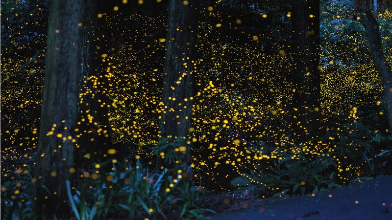 Illustration for article titled An incredible, time-lapse vision of fireflies in the wild