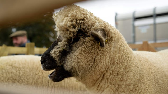 Scientists Find Evidence That Sheep Can Cause Mad Cow Disease