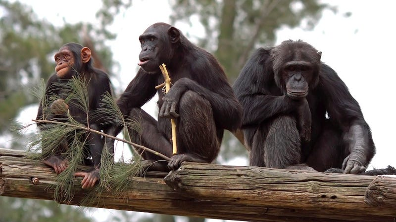 Illustration for article titled Chimps are better at teamwork than anyone realized
