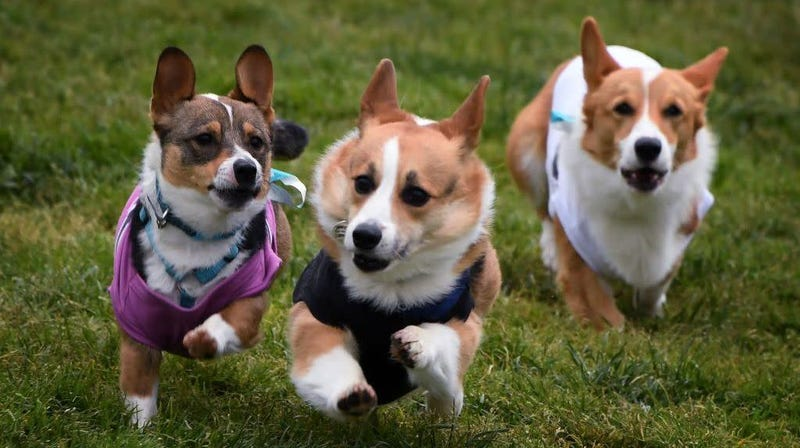 Illustration for article titled It's International Dog Day, which means it's time to watch a bunch of corgis run a corgi race