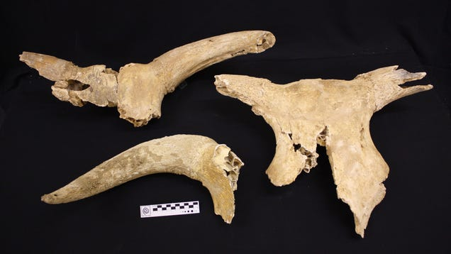 Paleontologists Study 9,000-Year-Old Aurochs Bones and Wonder if the Beasts Were Tamed