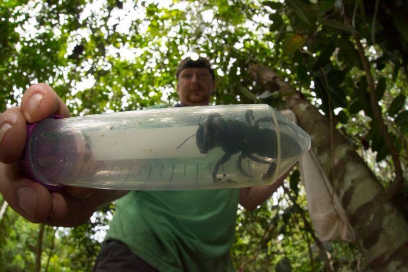Illustration for article titled Pensábamos que la abeja más grande del mundo se había extinguido, pero se ha encontrado viva (y es gigante)