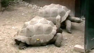 Illustration for article titled After 115 years together, tortoise couple calls it quits