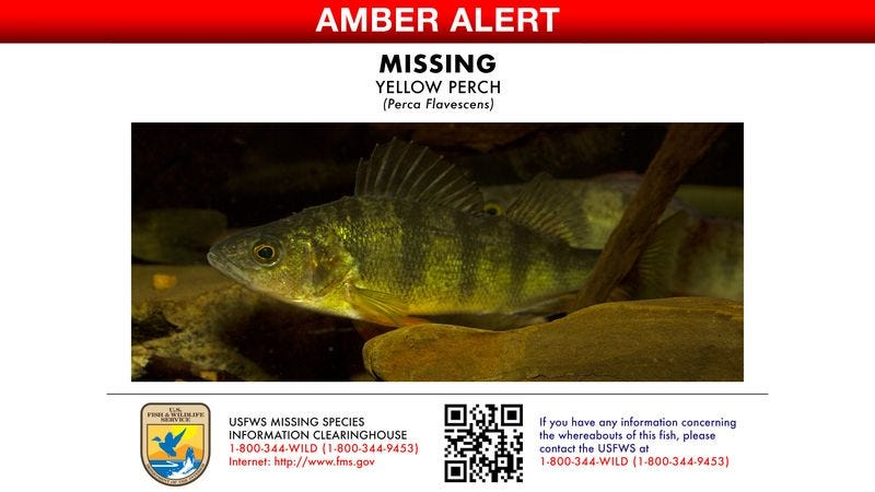 Illustration for article titled U.S. Fish And Wildlife Officials Release Photos Of Missing Perch