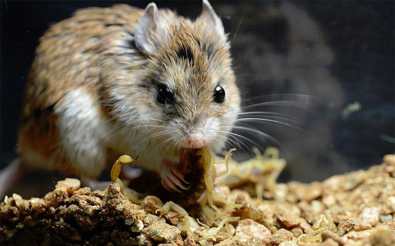 Illustration for article titled Este ratón es inmune al ataque de un escorpión que tumbaría a una persona (y por qué importa)