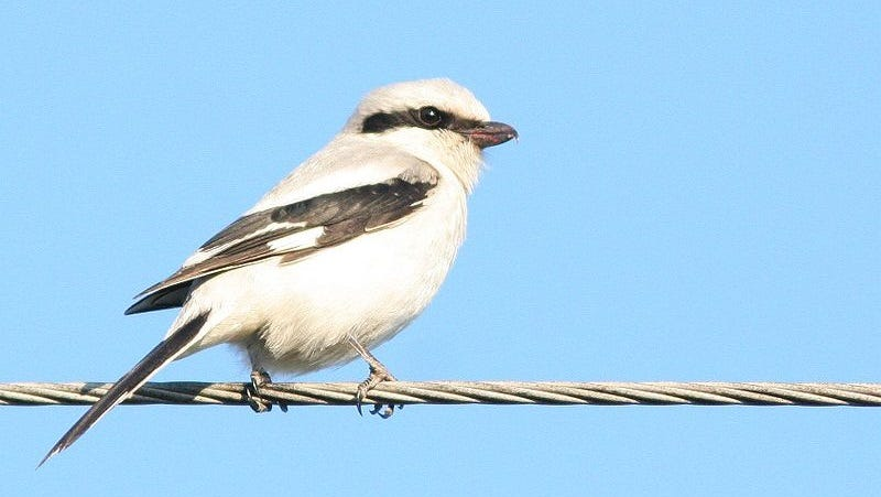 Illustration for article titled Shrikes Are Even Meaner Than We Suspected