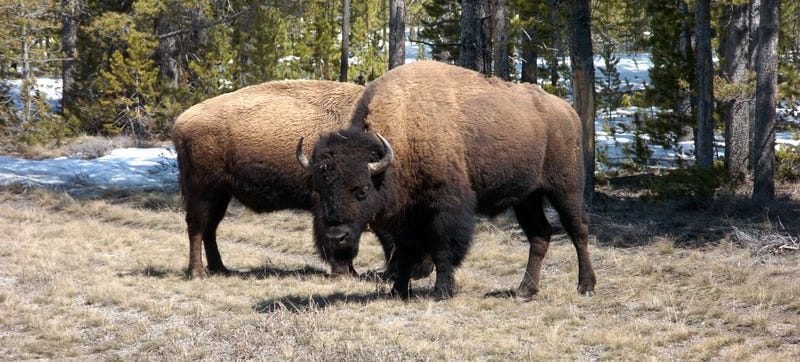 Illustration for article titled Stop Taking Selfies With Bison