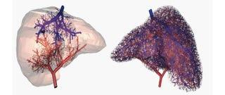 Illustration for article titled Imprimen en 3D por primera vez un sistema circulatorio funcional