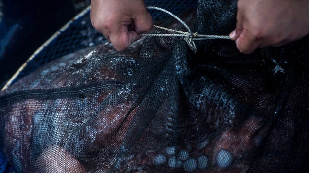 Scientists Say Octopus Farms Would Be  Unethical  and Awful for the Planet