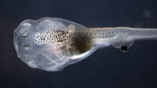 Illustration for article titled Bizarre eyeball transplant allows tadpoles to see out of their tails