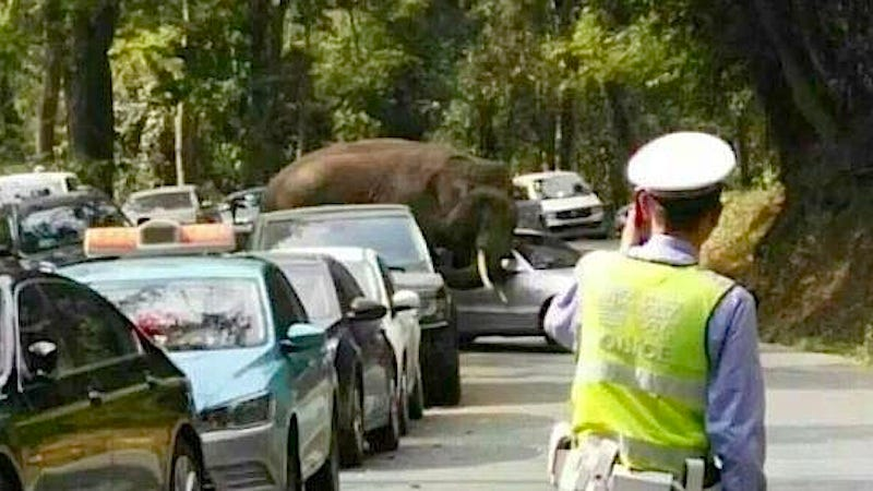 Illustration for article titled Horny Elephant Goes on Car Crushing Rampage After Getting Rejected by Female Elephant