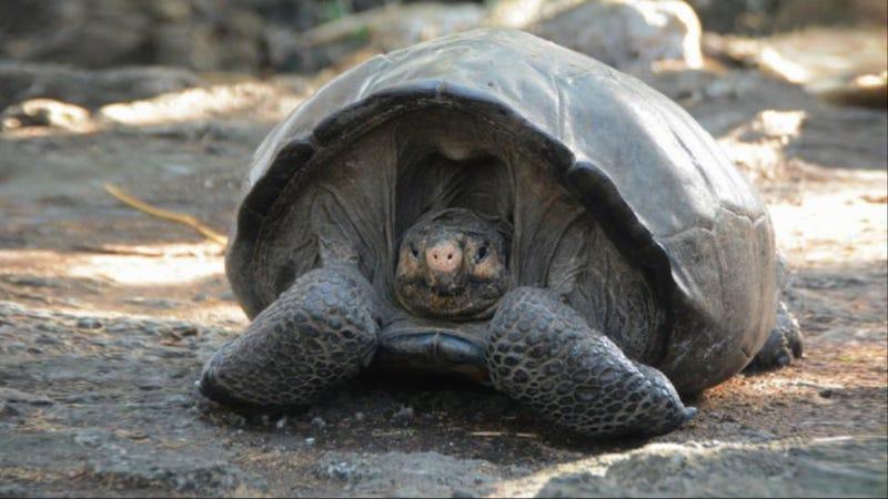 Illustration for article titled Esta tortuga gigante ha aparecido en las islas Galápagos 113 años después de la última vez que alguien la vio