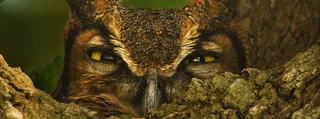 Illustration for article titled This Great Horned Owl Is Either Really Stoned Or Defending Its Young
