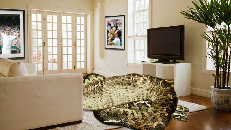 A large snake in Roger Federer's living room.