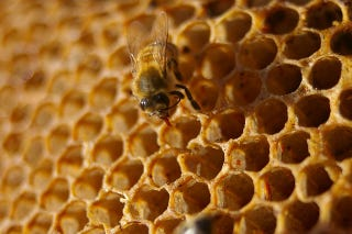 Illustration for article titled Will Bee Disappearances Lead To A Honey Shortage?