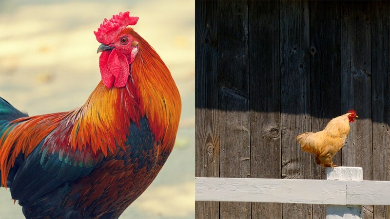 A nearby Rooster and a far away rooster